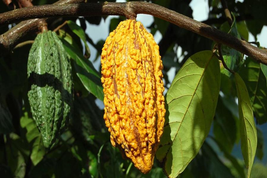 Cacao_Crudo_Merk_2
